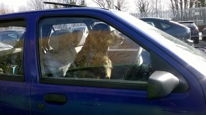 Dog_drives_car_(13889342521)