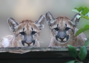 Florida Panther Kittens
