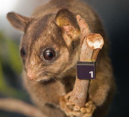 possum-by-pippalou