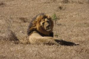 lion-by-badeendjuh
