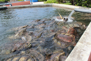 800px-Turtle_Tank_at_Cayman_Turtle_Farm