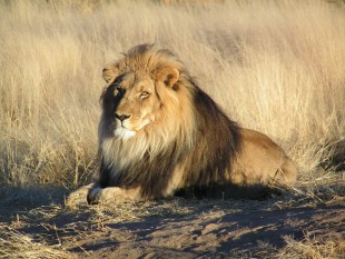 african lion namibia kevin pluck