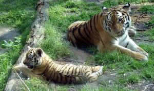 Amersfoort-Zoo-Siberian-Tigers-by-Citypeek
