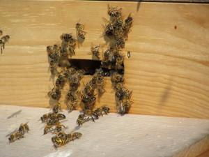 Hornet-trap-entrance-1024x768