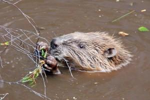 Beaver by Paul Stevenson