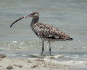 Stop Hunting Endangered Shorebirds on Migration