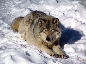Gray_Wolf,_Omega_Park,_QC Wikimedia : D. Gordon E. Robertson
