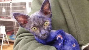 Smurf-Kitten-by-Nine-Lives-Foundation-Facebook