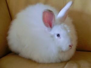 White_Satin_Angora_Rabbit