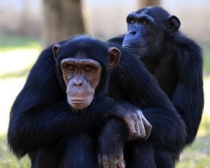 chimpanzee-88994_960_720