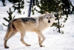 gray-wolf-981634_960_720