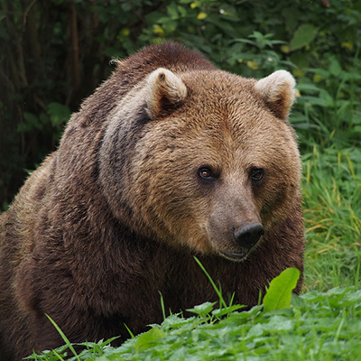 Save Brown Bears From Poisonous Gold and Copper Mine