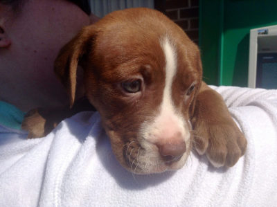 Don't Give Puppy Left Tied in Dangerous Heat Back to Accused Abuser
