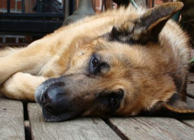 German Shepherds Reportedly Starved to Death Deserve Justice