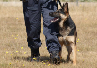 A police dog at the feet of an officer.