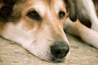Innocent Dog Reportedly Shot in Face by Neighbor Needs Justice