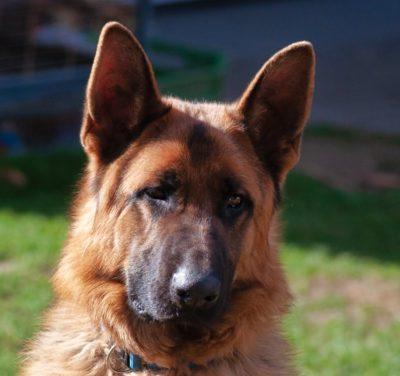 Man Accused of Stabbing Pet German Shepherd to Death Must be Punished