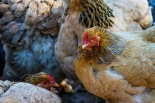 Chickens - Manfred Richter
