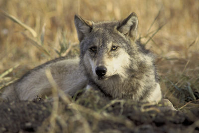 Stop Mass Shooting of Endangered Gray Wolves