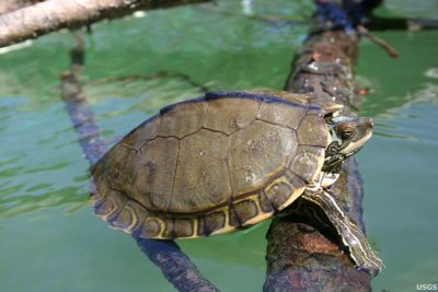 Protect the Endangered Pearl River Map Turtle from Extinction