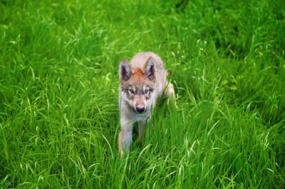 Stop Rewarding the Cruel Slaughter of Wolves and Their Pups