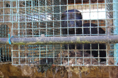 Shut Down Fur Farms to Protect Humans and Animals From COVID-19