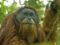 Don't Threaten Critically Endangered Orangutans with Hydroelectric Dam