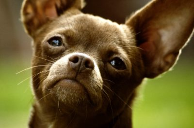 Chihuahua Trapped in Cooler and Left for Dead in Parking Lot Deserves Justice
