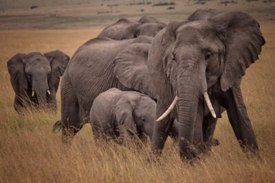 Stop Hunting Elephants to Extinction for Ivory