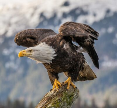 Don't Let Bald Eagles Fall Victim to Poisoning and Habitat Loss