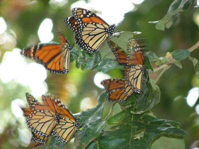 Don't Let Monarch Butterflies Vanish From Our Planet