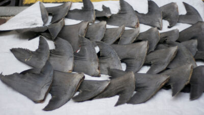 Thousands of Dead Sharks Sold by Greedy Company Deserve Justice