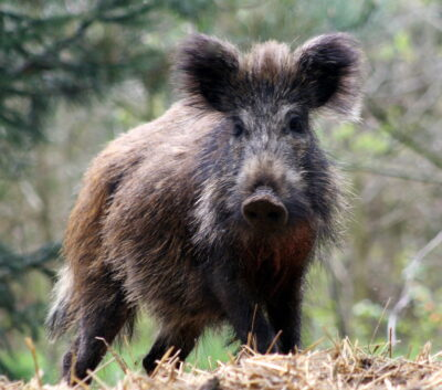 Stop Mass Extermination of Wild Boars
