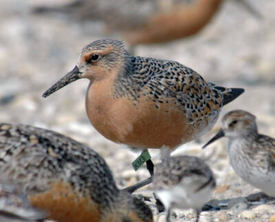 Stop Crabbers From Pushing Endangered Bird to Extinction
