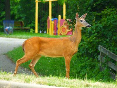 Don't Slaughter Deer Living in City Park