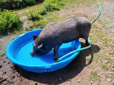 Potbelly Pig Allegedly Abandoned to Starve With Infected Wounds Deserves Justice