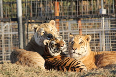 Success: Infamous Big Cat Zoo Permanently Shut Down