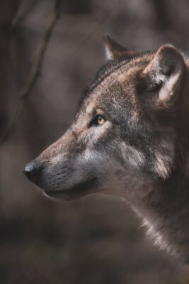 Protect Wolves From Second Extinction Event Due to Illegal Hunting